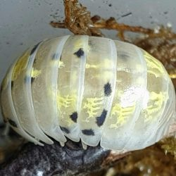 Armadillidium vulgare Magic Potion is een Japanse kweekvorm