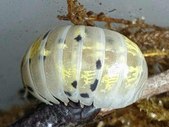 Armadillidium vulgare Magic Potion is een Japanse kweekvorm