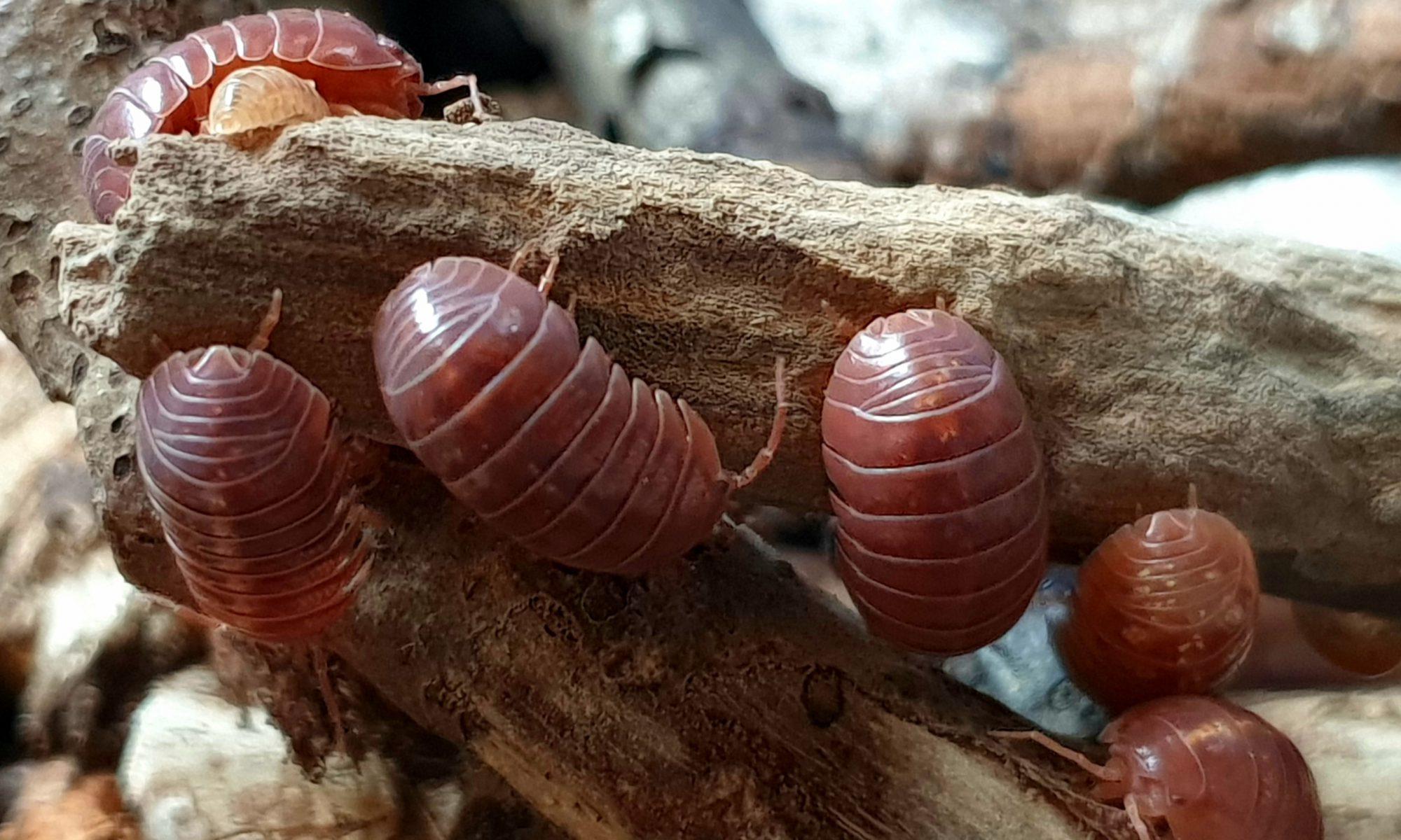 pissebed van de soort Armadillidium vulgare red