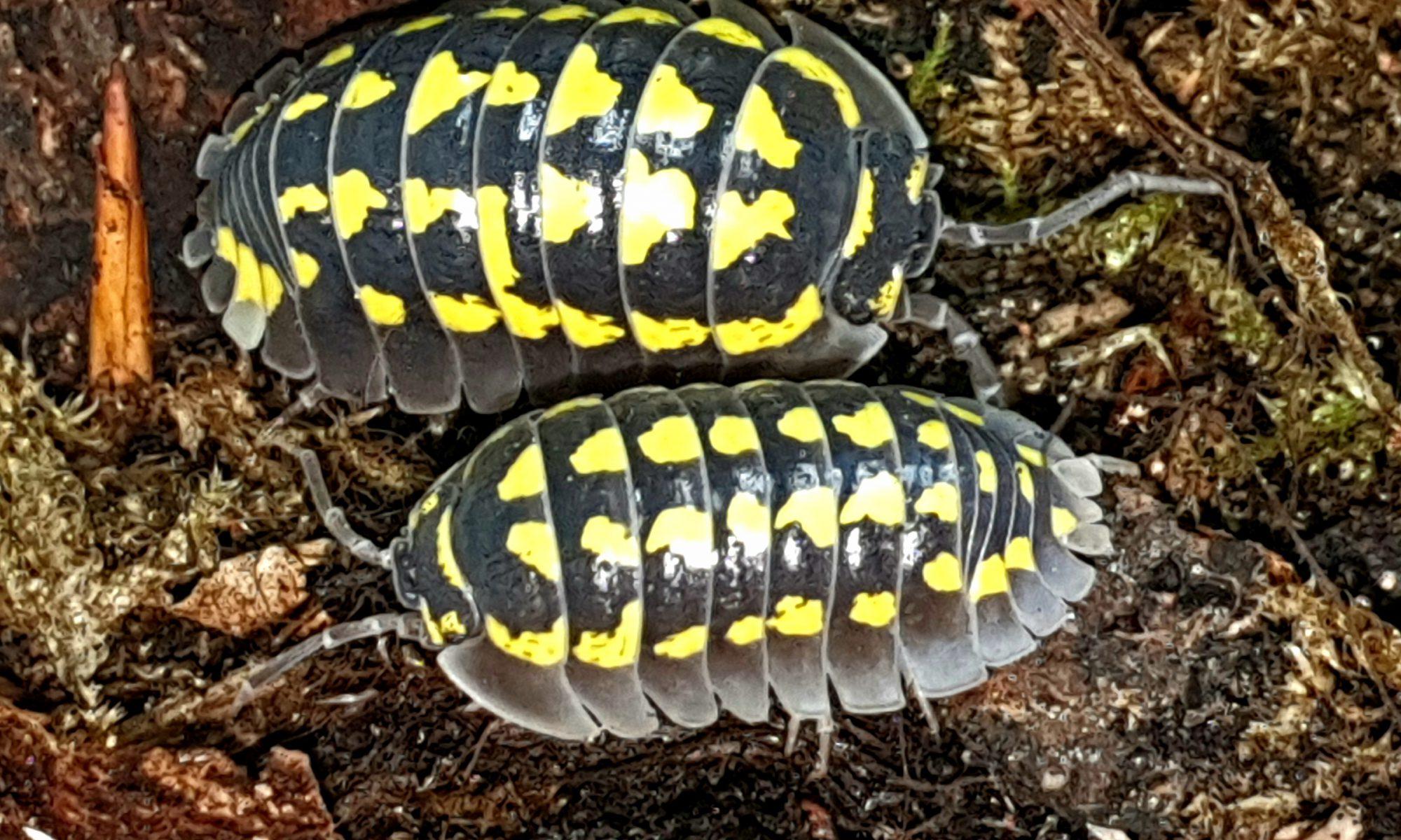 Armadillidium gestroi is een pissebed uit de familie Armadillidiidae.